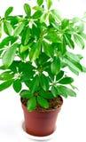 Schefflera houseplant. Schefflera arboricola isolated on white royalty free stock images