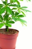 Schefflera houseplant. Schefflera arboricola isolated on white stock photos