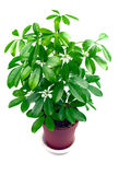 Schefflera houseplant Royalty Free Stock Photos
