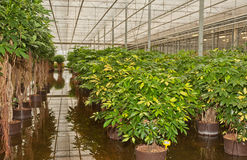 Schefflera plants in a plant nursery Royalty Free Stock Photo