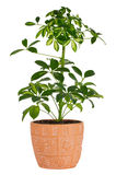 Schefflera in pot Royalty Free Stock Photo
