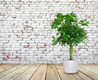 Schefflera a potted near brick wall. Schefflera a potted near Old brick wall Royalty Free Stock Photography