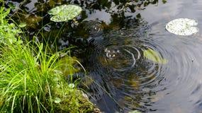 Scheidungen auf dem Wasser im See von einem kleinen Frosch an einem Sommertag lizenzfreie stockbilder