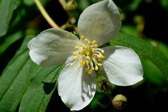 Scheinbare orange Blume - Philadelphus-coronarius stockfotos