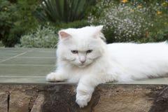 Scheinheilige weiße Katze Lizenzfreie Stockbilder