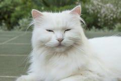 Scheinheilige weiße Katze Lizenzfreies Stockbild