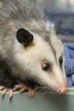 Schele Opossum Stock Foto's