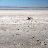 Scheletri del pesce sul letto del sale Mare di Salton, California Immagini Stock