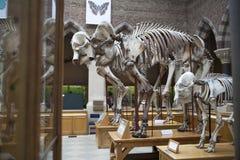 Scheletri dell'elefante, università di Oxford, museo di storia naturale oxford l'inghilterra Immagini Stock Libere da Diritti