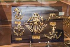 Scheletri nella galleria di paleonthology nel museo di storia naturale di Parigi, Francia Fotografie Stock