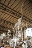 Scheletri nella galleria di paleonthology nel museo di storia naturale di Parigi, Francia Fotografie Stock Libere da Diritti