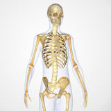 scheletro Fotografie Stock