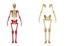 scheletro royalty illustrazione gratis