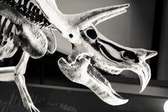 Scheletro antico del dinosauro in bianco e nero Fotografie Stock