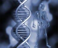 Scheletro con i fili del DNA Fotografia Stock Libera da Diritti