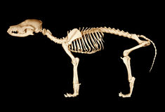 Scheletro del cane Fotografia Stock
