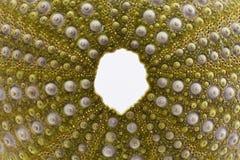 Scheletro del echinoidea di verde della conchiglia isolato su fondo bianco Fotografia Stock
