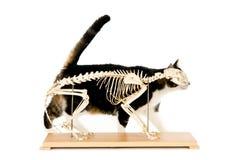Scheletro del gatto fotografie stock libere da diritti