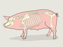 Scheletro del maiale Illustrazione di vettore Diagramma dello scheletro del maiale Fotografie Stock