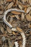 Scheletro del serpente nel lago Galles Ridge State Forest nella contea di Polk, Florida fotografia stock
