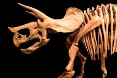 Scheletro del triceratopo Fondo dell'isolato Immagine Stock
