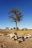 Scheletro dell'elefante Fotografie Stock