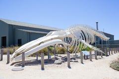 Scheletro della balena blu Fotografia Stock