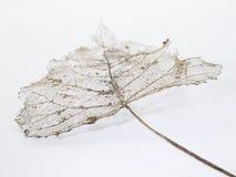 Scheletro della foglia con le vene ed il gambo Fotografie Stock