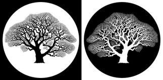 Scheletro della quercia Fotografia Stock
