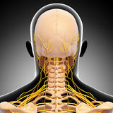 Scheletro della testa umana e sistema nervoso illustrazione di stock
