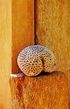 Scheletro di corallo Fotografia Stock Libera da Diritti
