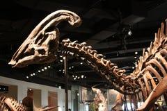 Scheletro di Parasaurolophus immagini stock libere da diritti