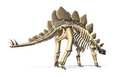 Scheletro di stegosauro Fotografia Stock
