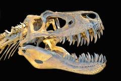 Scheletro di T-Rex su fondo nero Immagine Stock Libera da Diritti
