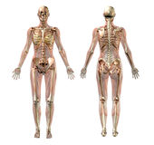 Scheletro femminile con i muscoli trasparenti - con il percorso di residuo della potatura meccanica Fotografia Stock