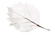 Scheletro leggero della foglia isolato su bianco Immagini Stock