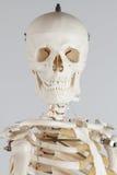 Scheletro umano Fotografia Stock
