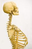 Scheletro umano Fotografie Stock Libere da Diritti
