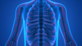 Scheletro umano con il sistema nervoso illustrazione vettoriale