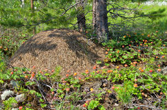Schellbeere um Ameisenhaufen Lizenzfreie Stockfotografie