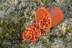 Schellbeeren zerbröckelten vom Eimer auf das Moos stockfotos