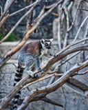 Schellen Sie angebundenen Maki im Zoo in der Zitadelle von Besançon Stockfoto