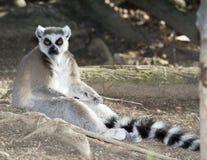 Schellen Sie den angebundenen Lemur, der auf dem Boden, Madagaskar sitzt Stockfotos