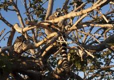 Schellen Sie den angebundenen Maki, der auf dem Baumfoto sitzt Lizenzfreies Stockfoto