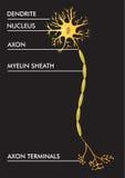 Schema del neurone di vettore Immagine Stock