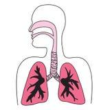 Schema umano dell'apparato respiratorio Immagini Stock Libere da Diritti