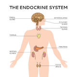 Schematic colorful vector illustration of male endocrine system Royalty Free Stock Photos