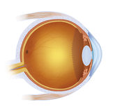 The human eye Royalty Free Stock Photos
