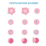 Schematic image of fertilization in mammals Royalty Free Stock Images