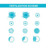 Schematic image of fertilization in mammals. The phases of embryo development in the early stages Royalty Free Stock Photo